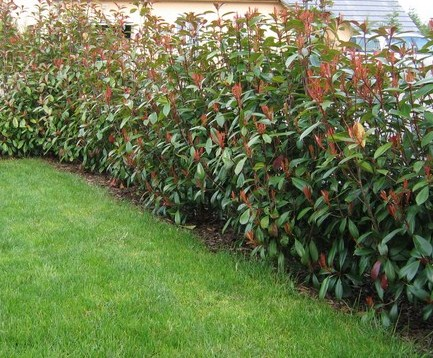 Photinia Red Photinia x fraseri Red Robin - Leaderplant