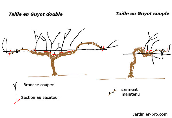 Taille de la vigne en guyot double ou simple