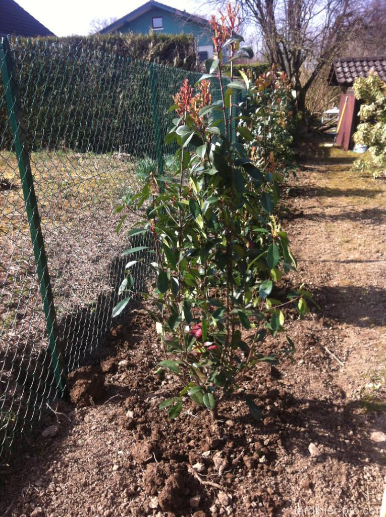 Plantation en haie du photinia red robin