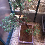 Rempotage bonsai: la technique simple que j'utilise