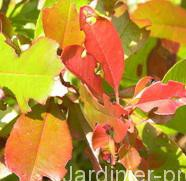 othiorhynque-photinia