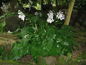 hosta_sieboldiana photo: https://fr.wikipedia.org/wiki/Hosta_sieboldii